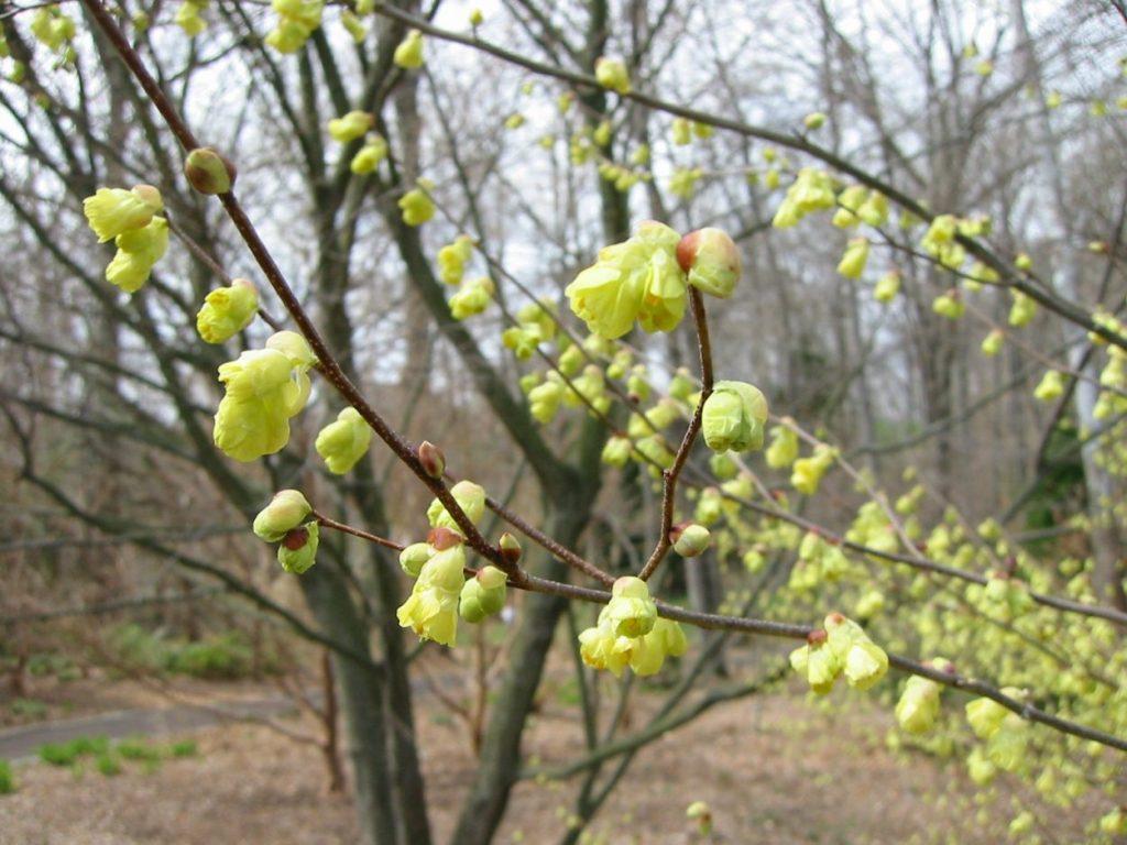 Corylopsis pauciflora or buttercup winterhazel