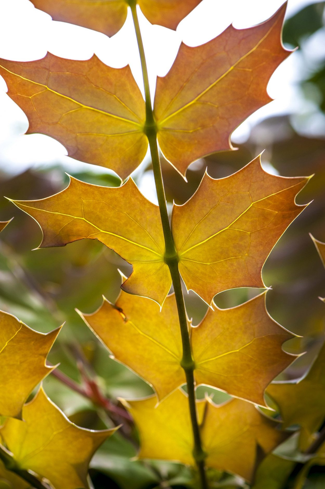 Gold Mahonia leaves, one of 2017's garden trends is the color gold.