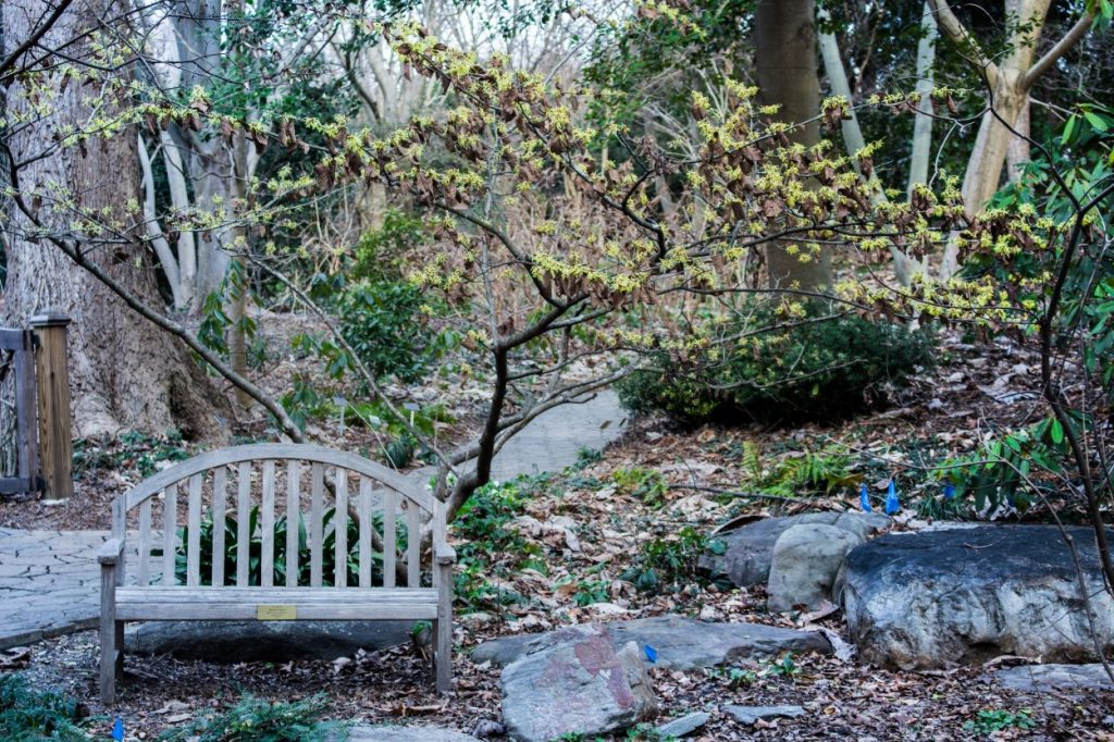 A witch Hazel grove in the Flagler Garden. Hamamelis virginiana