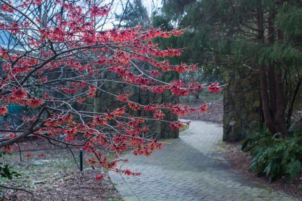 Witch hazel grove in the Flagler Garden-Hamamelis × intermedia 'Diane'