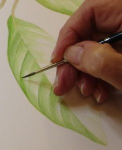 Botanical Illustration Techniques for Watercolor