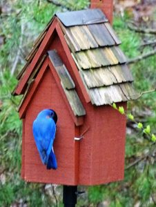 A bluebird enters his birdhouse through a 1.5-inch hole that helps keep other birds away.