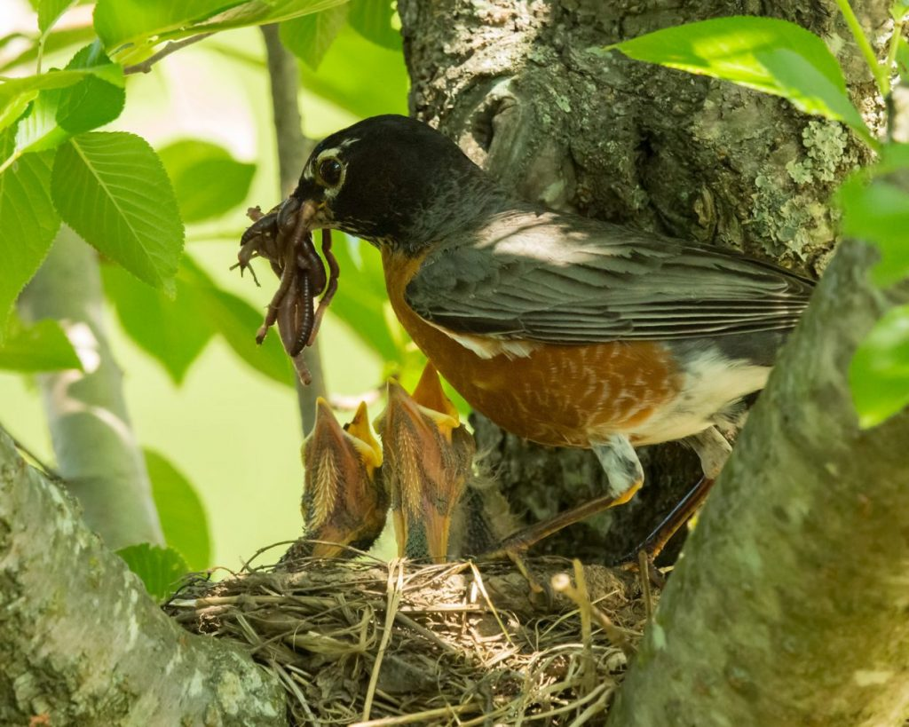 A robin feeds worms to baby birds in the nest. Birdscaping brings birds to your yard.