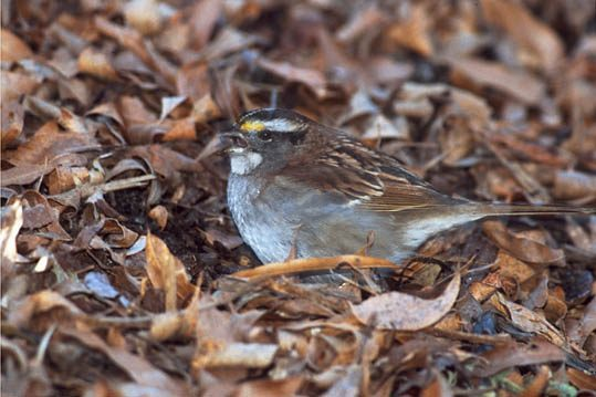A bird on the ground is hard to see among dried leaves.