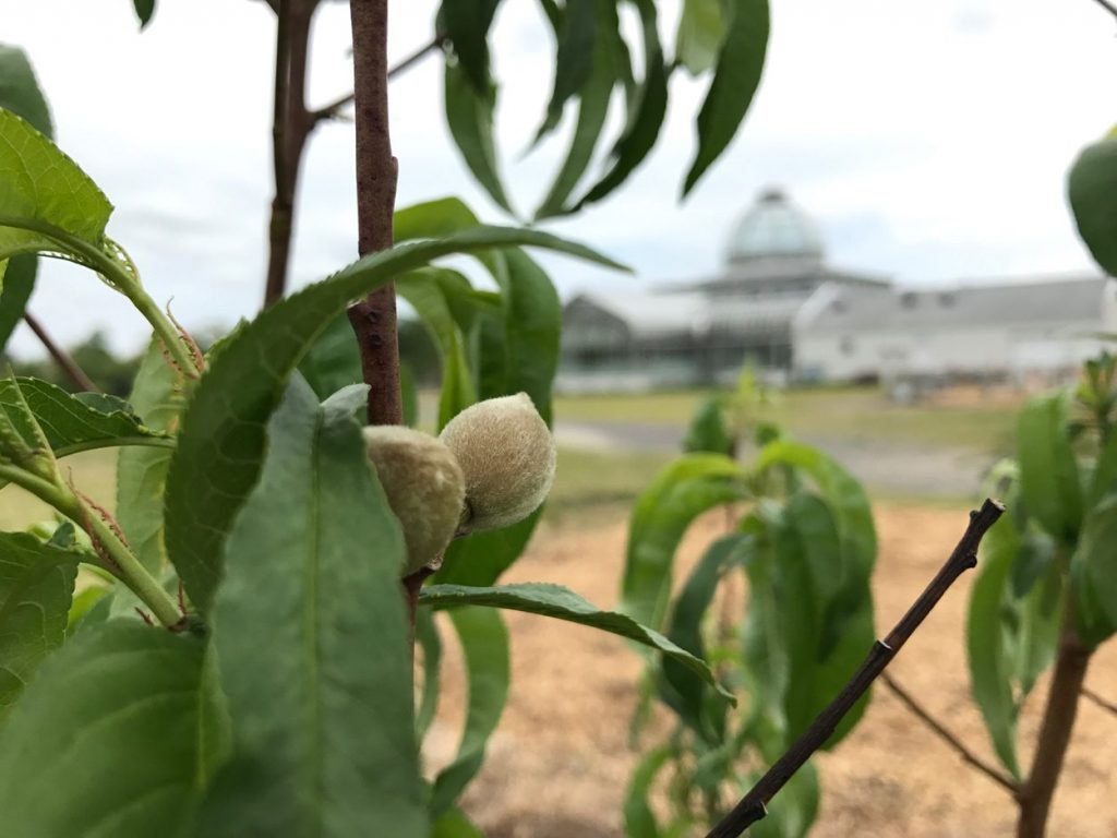 white peach dwarf tree