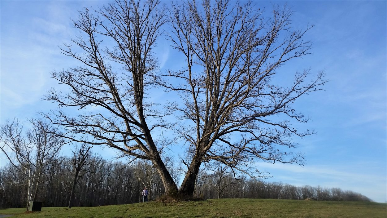 A 175-year-old oak tree has overextended branches , pruning was recommended.