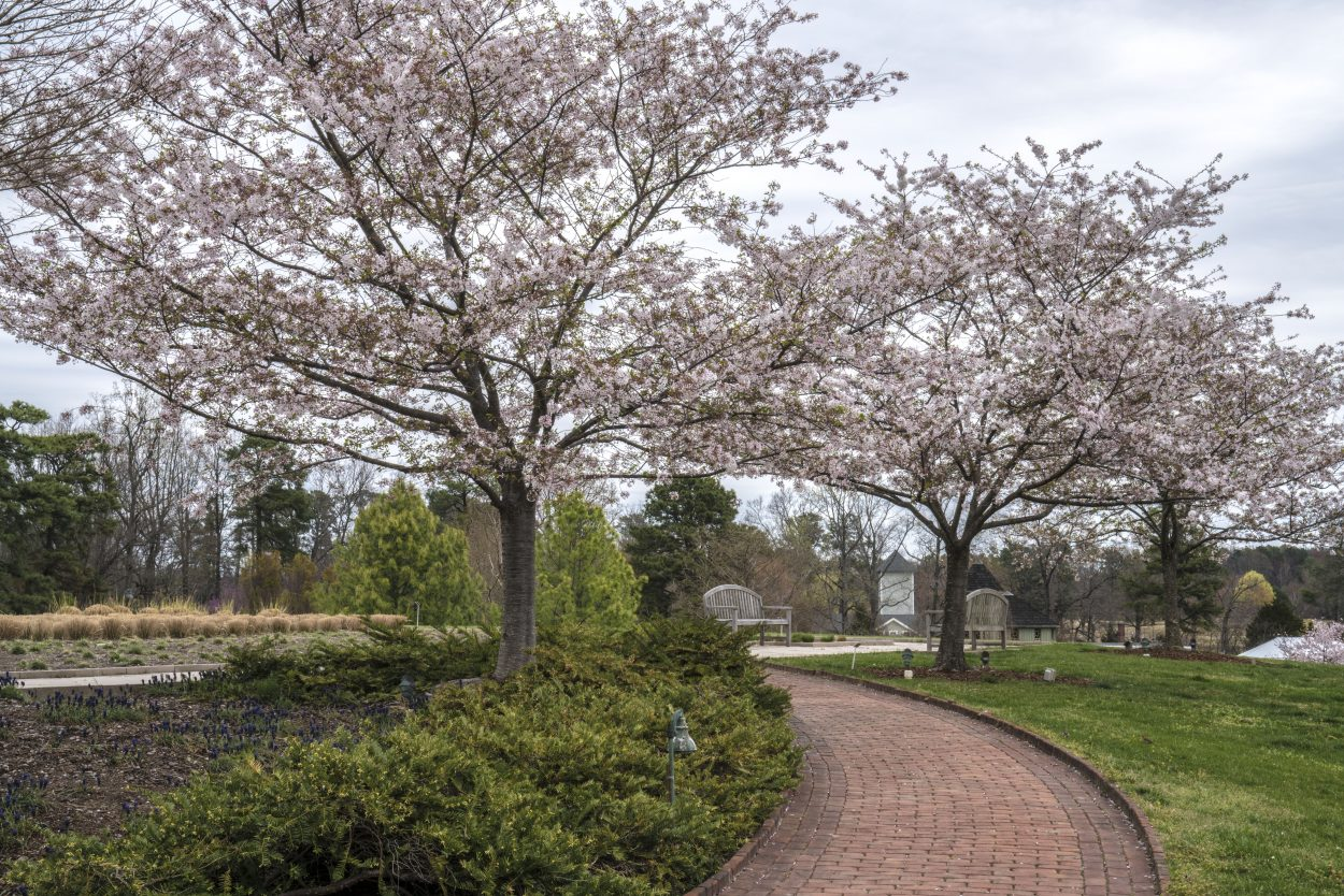 Blooming trees line walking path for a perfect photography spot at Lewis Ginter Botanical Garden. Image by Don Williamson.