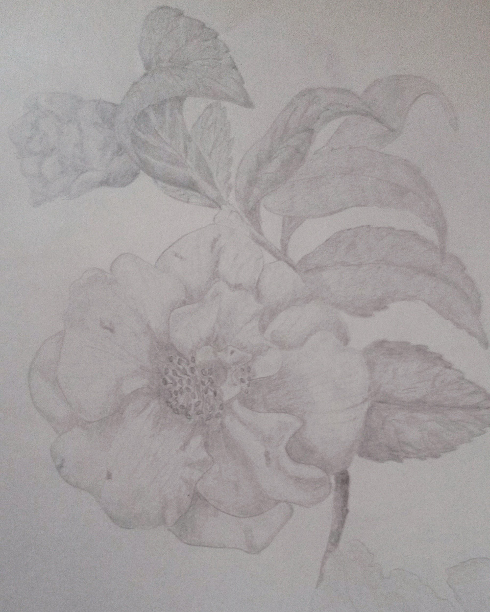 Graphite sketch of a single, white Camellia with a bud and leaves overhanging