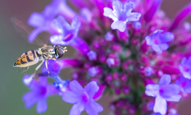 bee pollinator on verbena bonarensis. Image by Tom Hennessy