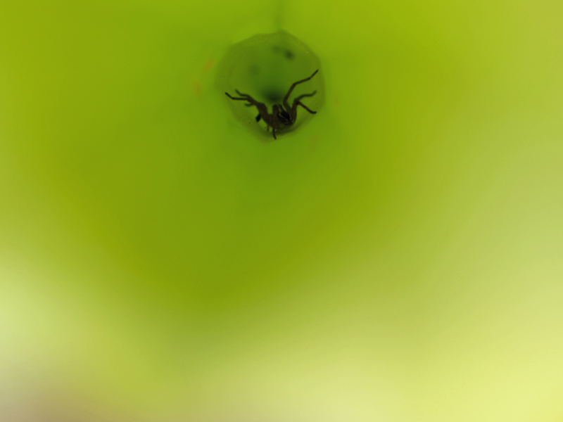 Spider inside a pitcher plant