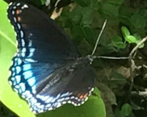 Beautiful black butterfly with iridescent blue and purple windows on its hind wing, orange spots on the tips of its forewing. Butterfly host plants includ the willow.