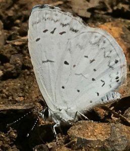 A close up view of a pale blue butterfly, its wings are closed and lightly marked with black dots and gray dashes
