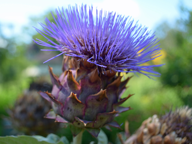 Cardoon blooming at Lewis Ginter Botanical Garden