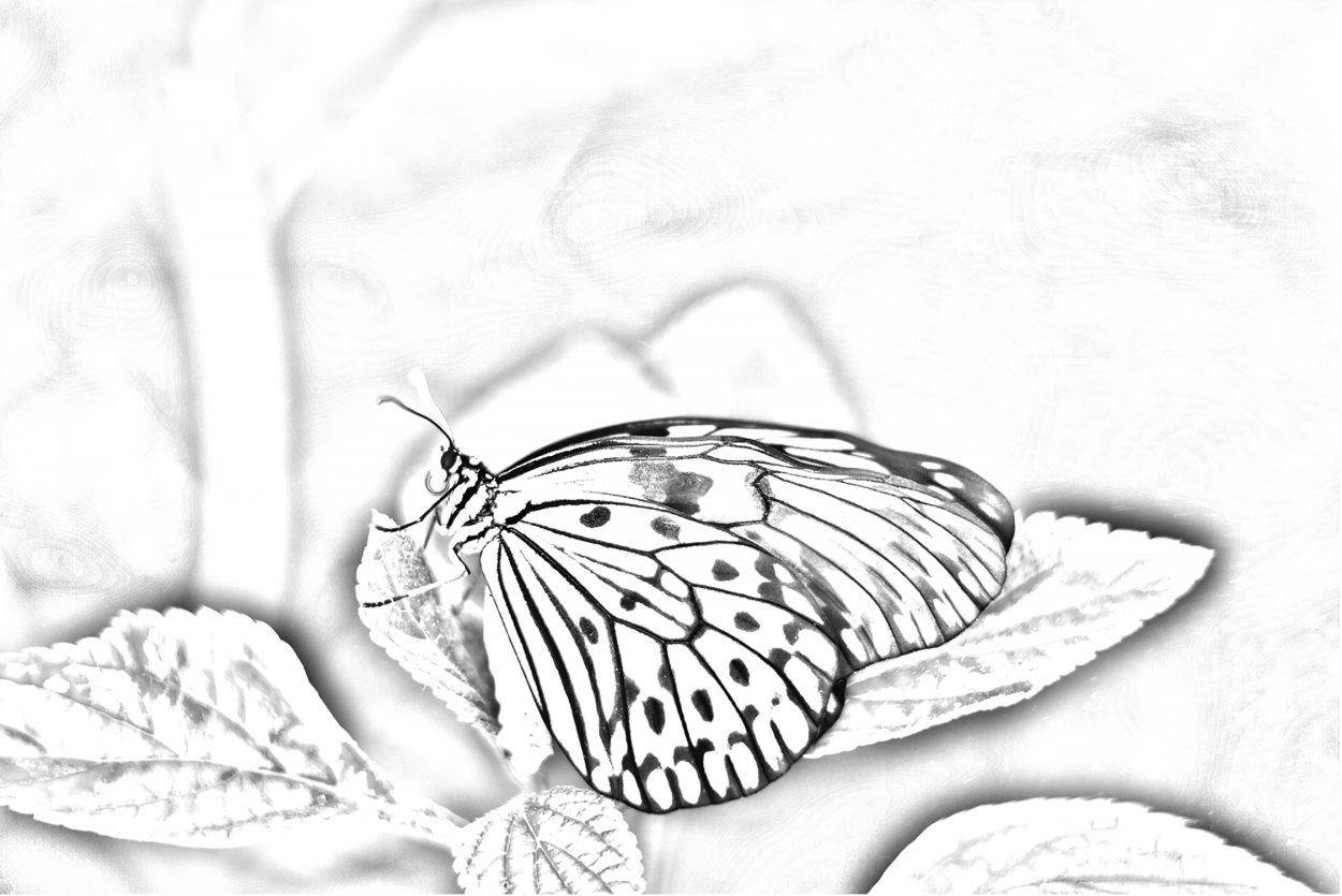 Coloring page of a butterfly photograph by Schlesinger