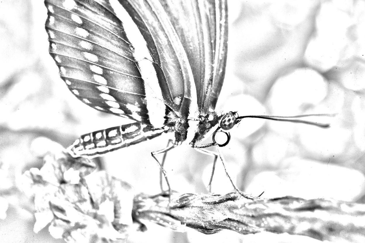 Black and white coloring page rom Schlesinger's book featuring closeup of a butterfly from Butterflies LIVE!