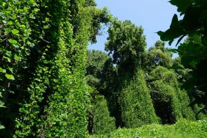 Green vines of kudzu that have spread and cover an area of trees and shrubs