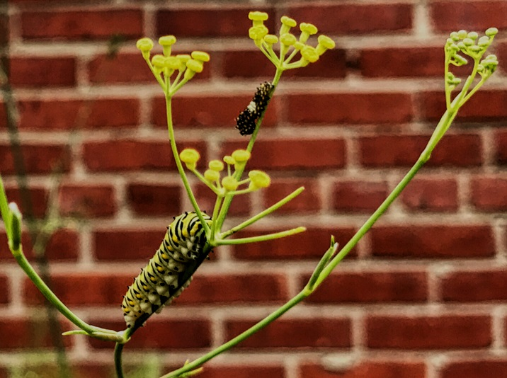 On a yellow fennel umbel we see two caterpillars, one is small and darkly colored with a white splotch at its center. The other is yellow, black, green, and whtie striped, and large.