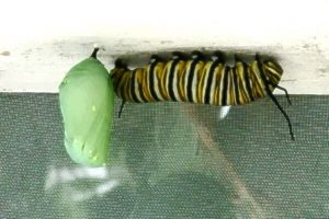 A green and gold speckled chrysalis hangs beside a yellow, black, and white striped caterpillar monarch caterpillar.