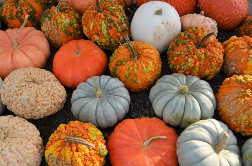 assorted pumpkins and gourds