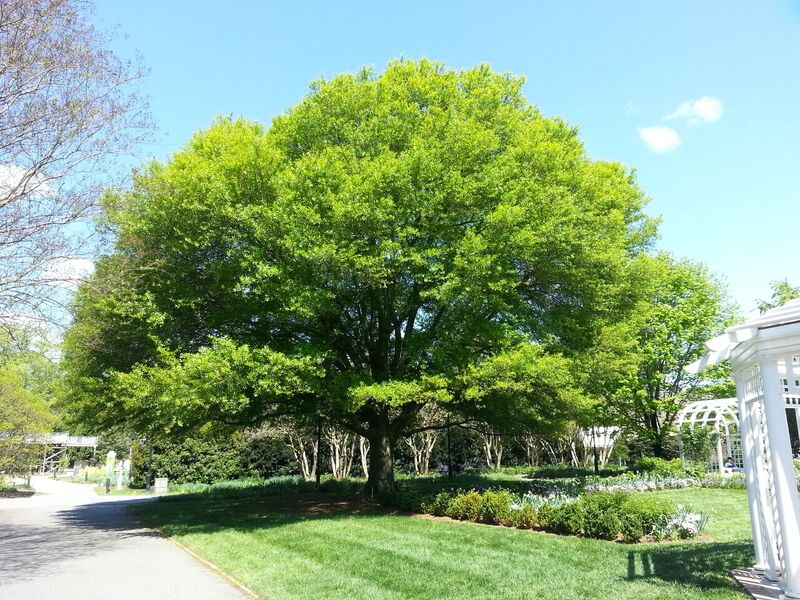 The Darlington Oak at Lewis Ginter Botanical Garden