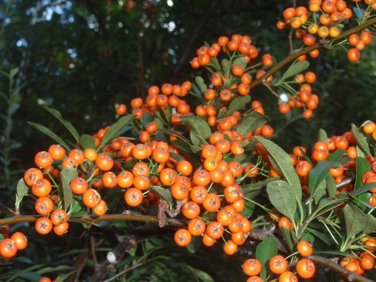 Scarlet firethorn pyracantha yields orange fruits.