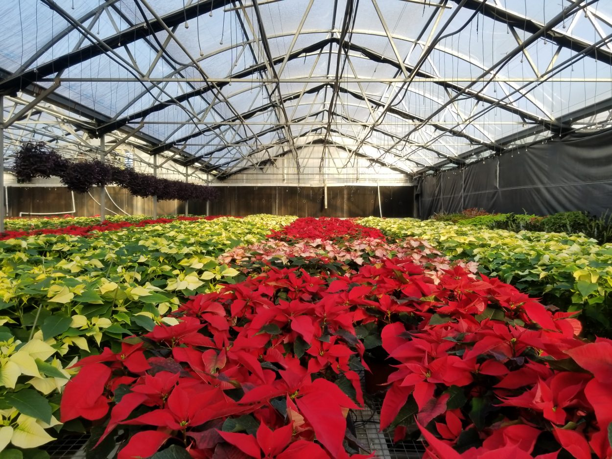 National Poinsettia Day means we are celebrating poinsettias! Here are thousands of different poinsettia varieties in a greenhouse.