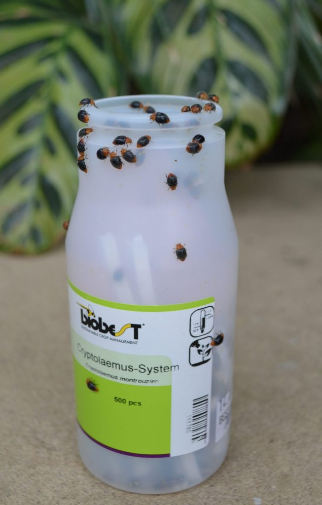 Beneficial Insects on bottle are a good way how to control aphids