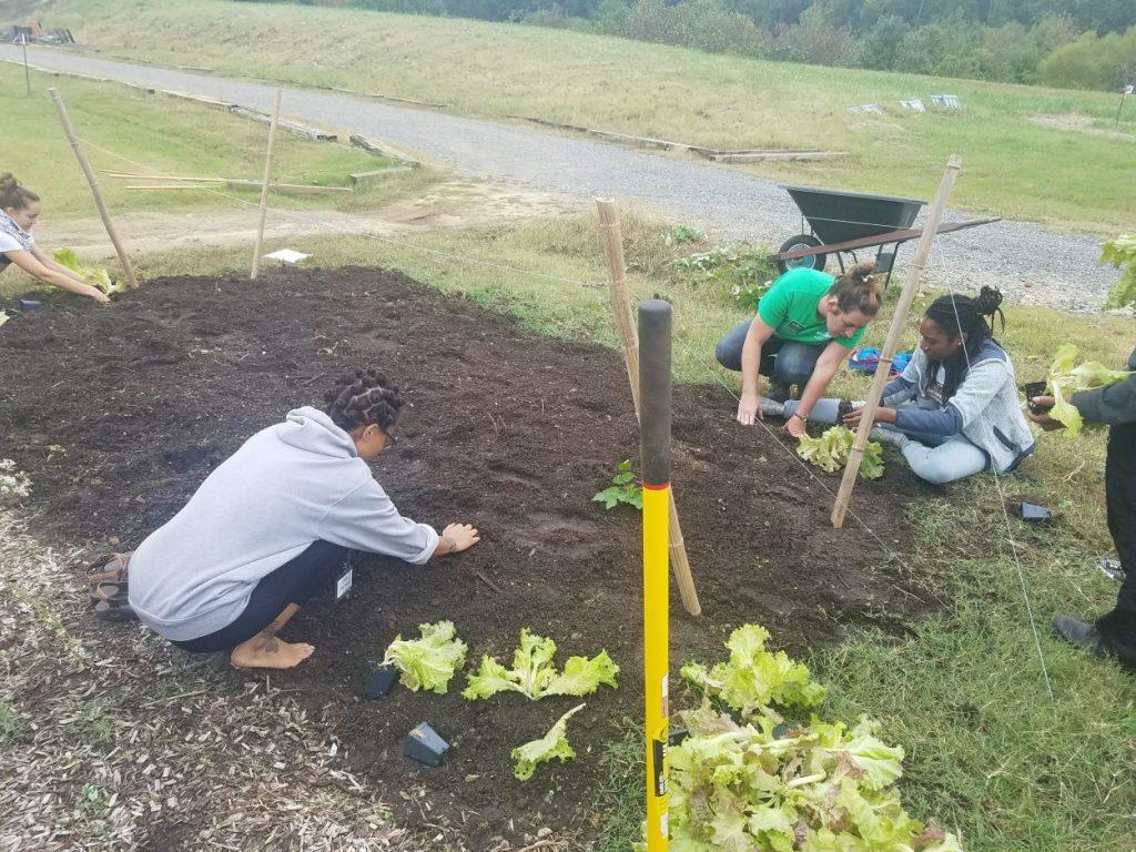 Ginter Urban Gardeners planting lettuce in the dirt.