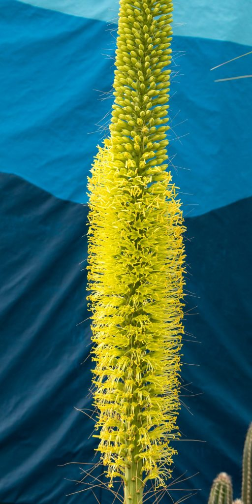 century plant blooming now at lewis ginter botanical garden