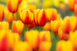 Link Me to tulips in yellow and red
