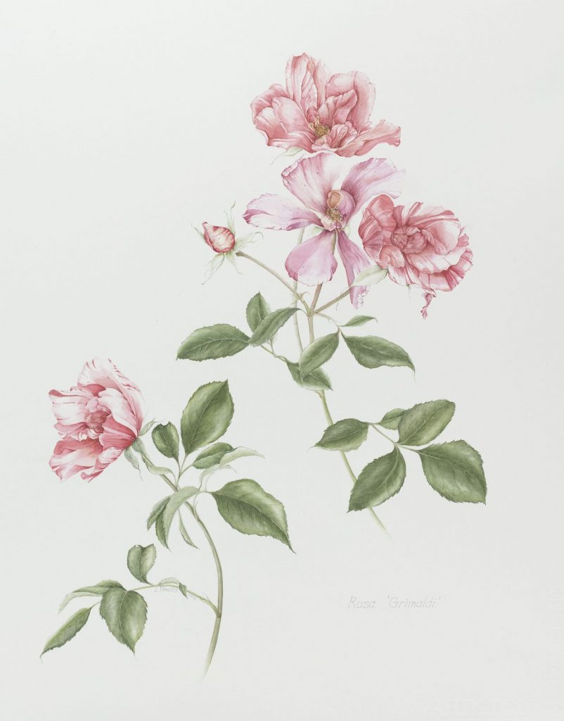 Rose illustration by artist Judith Towers