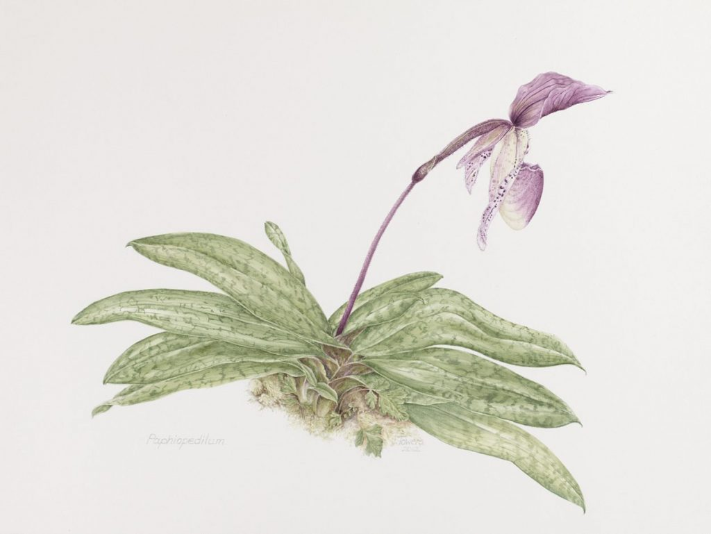 Papheopedilum illustration by artist Judith Towers, one of several works in the Botanical art Exhibit.