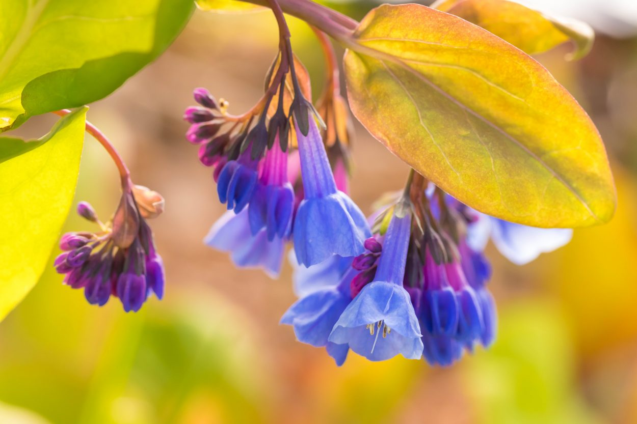 Virginia Bluebells just opening. Image by Tom Hennessy
