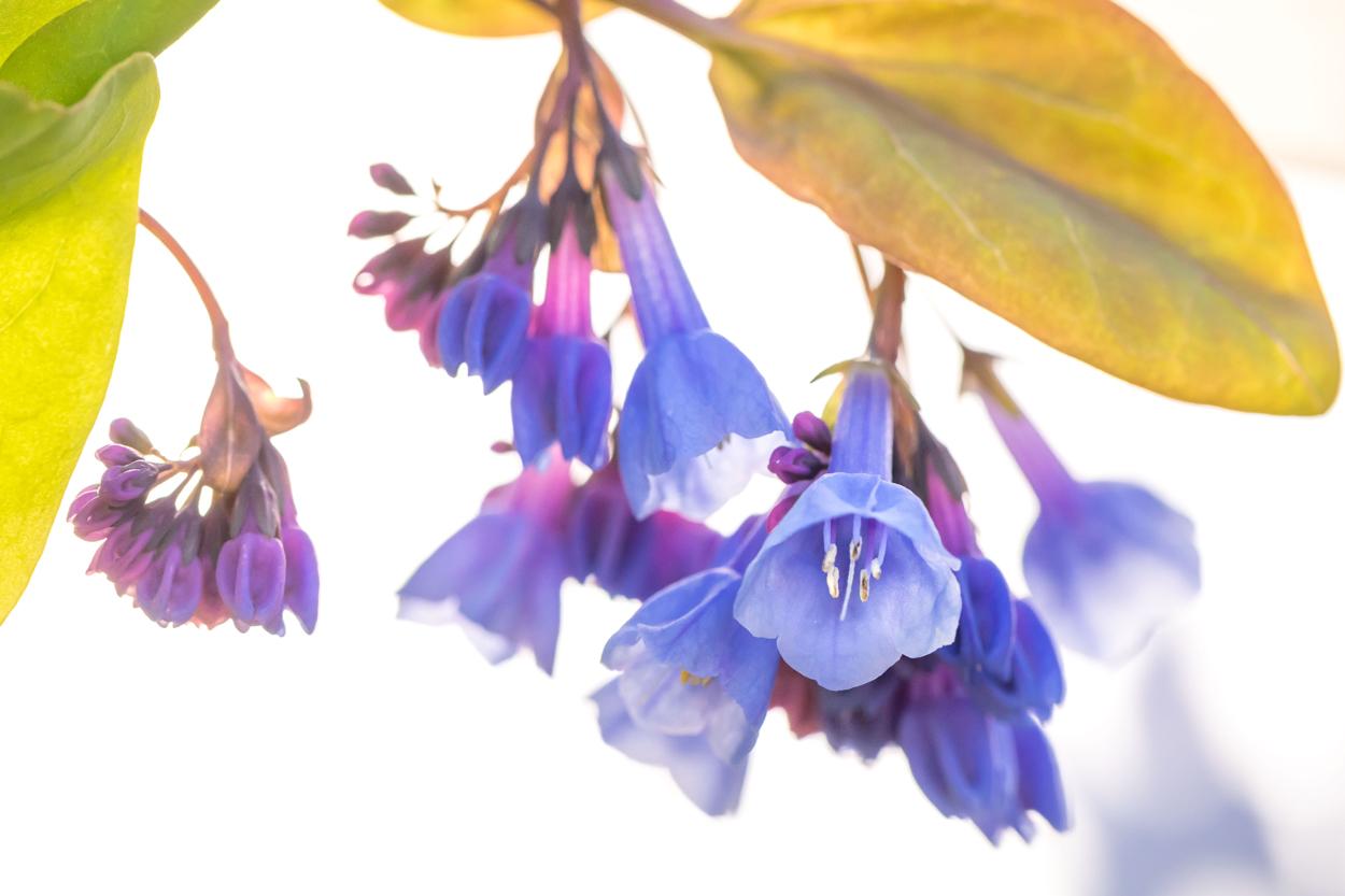 Tom Hennessy virginia bluebells, Mertensia virginica