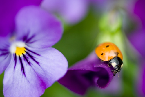 Lady bugs with purple violet flower.