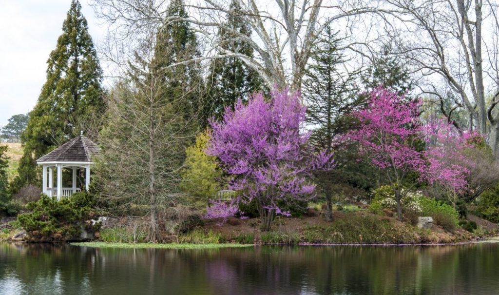 purple trees bloom lakeside