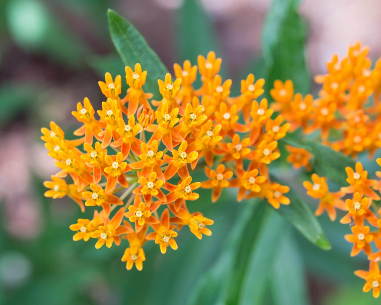 Close up of butterfly weed