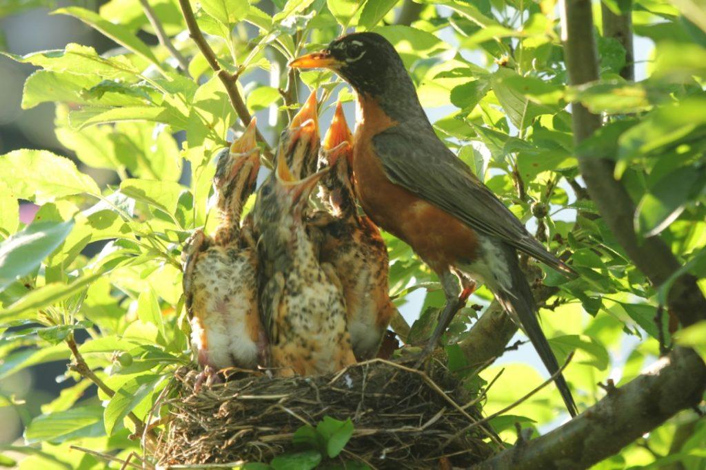 Robin Chicks