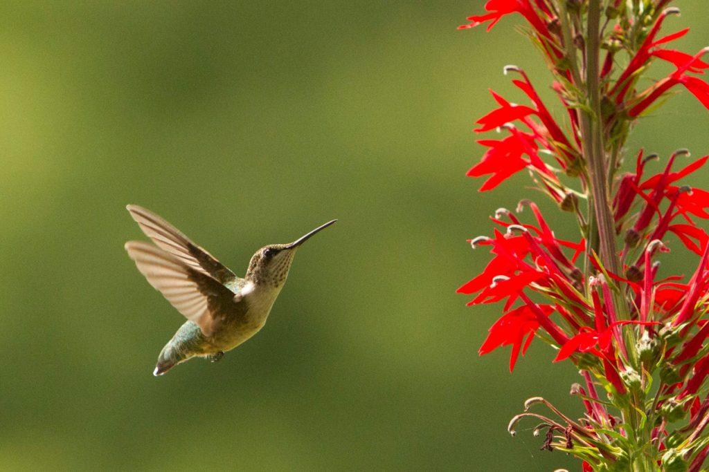 Hummingbird with Lobelia cardinalis. Image by Garden Member Sandy Fuller Spicknall