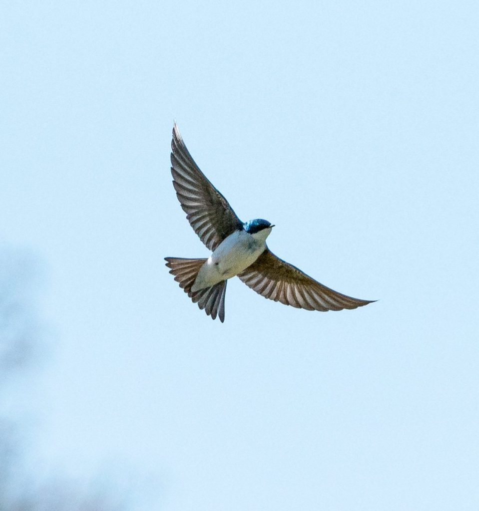 Image of a blue tree swallow with fully expanded wings flying.