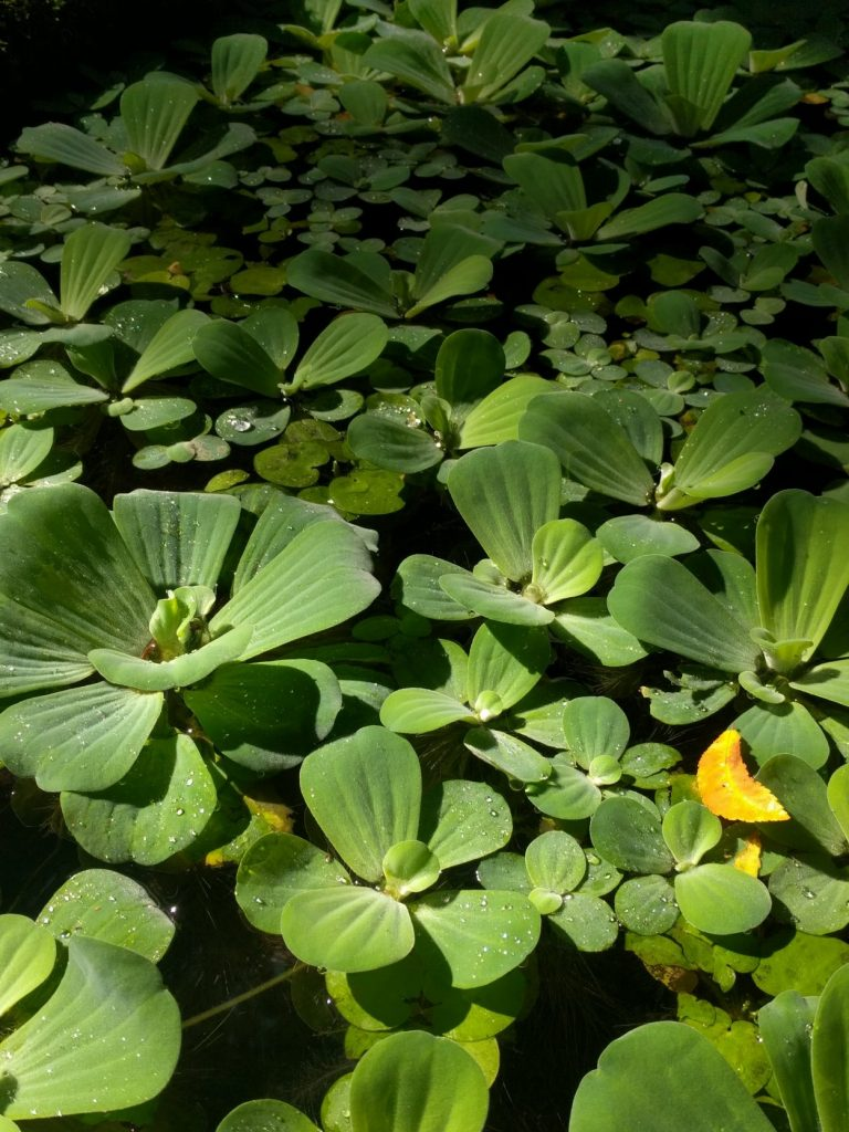 Image of a group of green plant life with stretches over the surface of a pool of black water.
