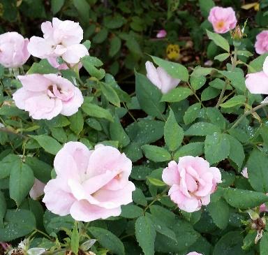 Shrub Rose, Rosa 'Radyod'
