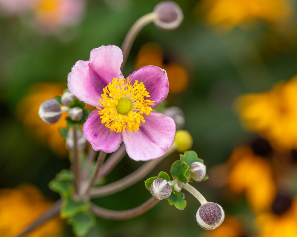 Japanese Windflower, Image by Tom Hennessy