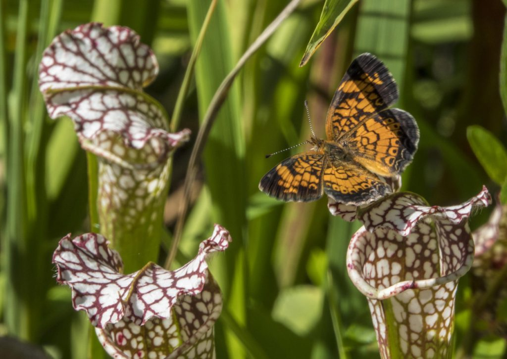 pitcher plants are part of the watershed ecosystem -- here a butterfly lands on a pitcher plant.
