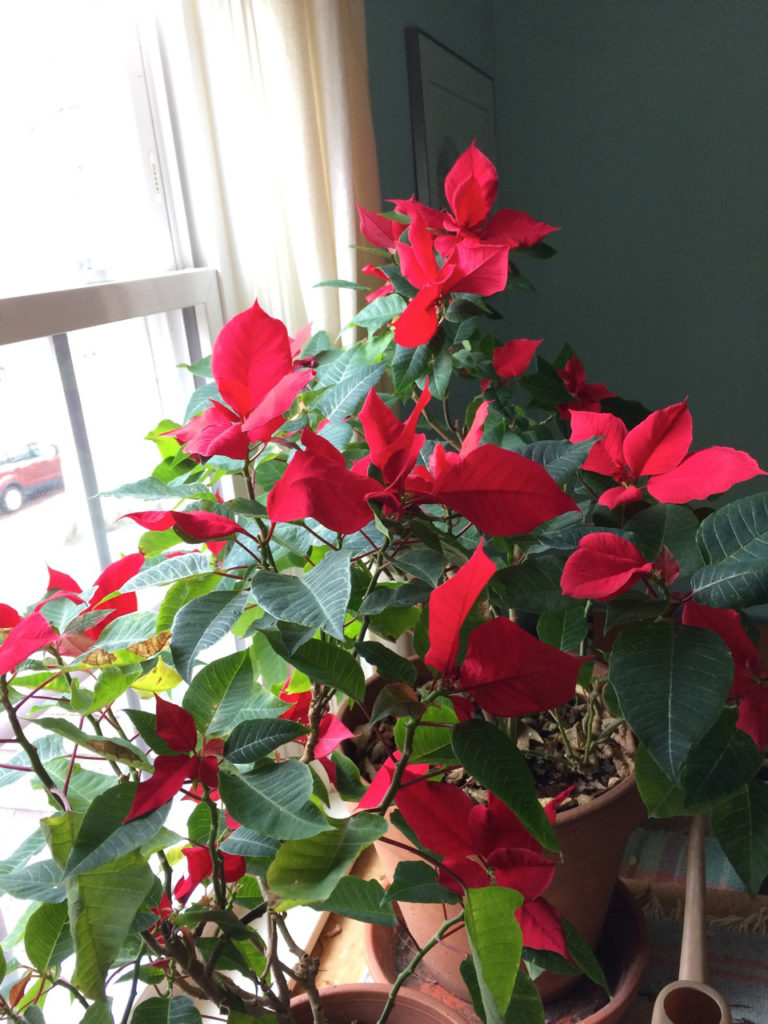 "Poinsettia ""blooming"" by cyane lowden"
