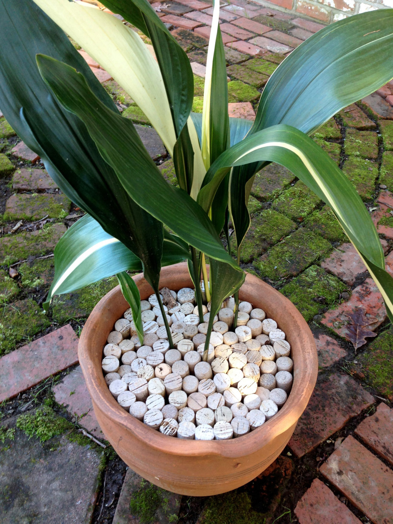 """Gardeners can use wine corks as a mulch """"topping"""" in potted plants lessen water loss from the soil surface."""