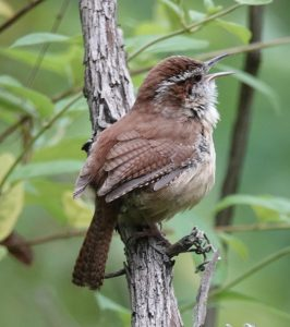 Carolina Wren completed migration and is now chirping on a branch.