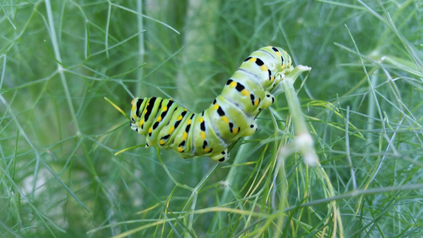 Eastern Black Swallowtails caterpillar eating some dill.