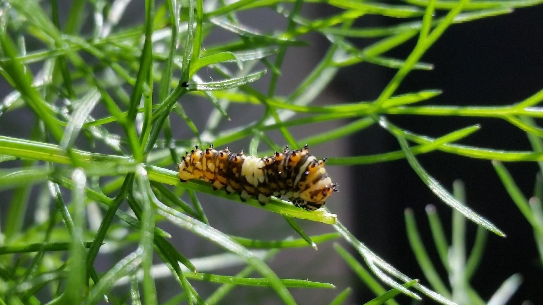 Eastern Black Swallowtails caterpillar camouflaging as a Monarch caterpillar.