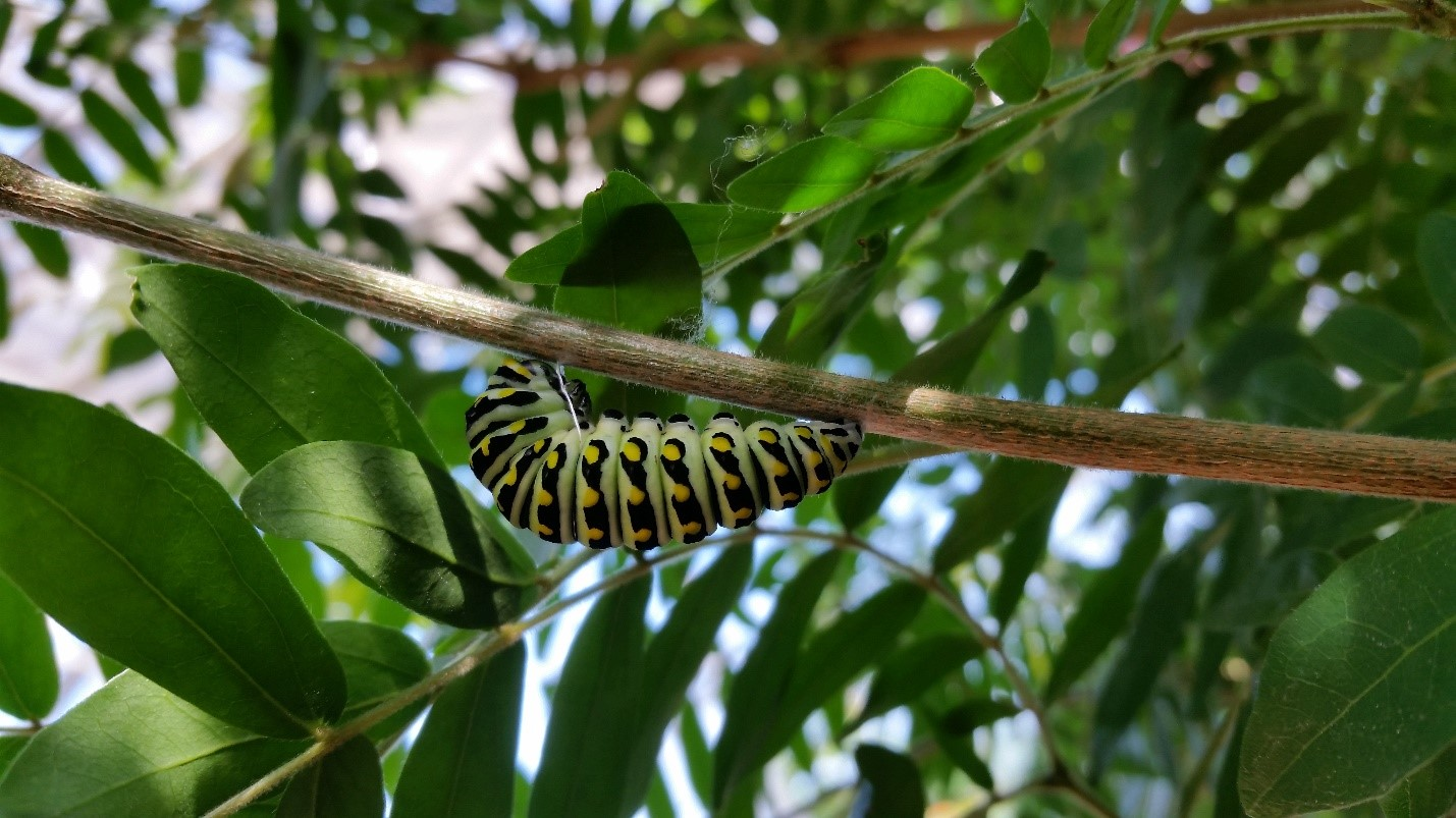 Eastern Black Swallowtails caterpillar in the shape of a 'j' preparing for its chrysalis.